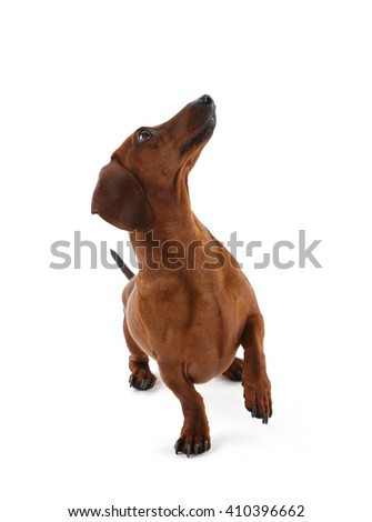Dachshund isolated on white.