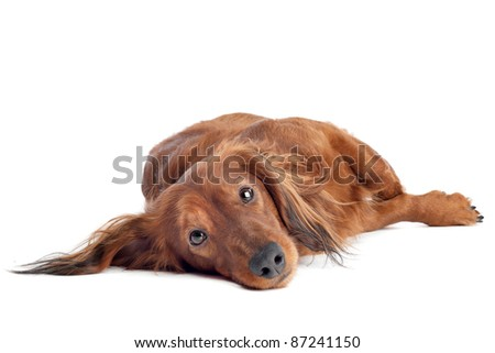 Dachshund lying on ground in front of a white background