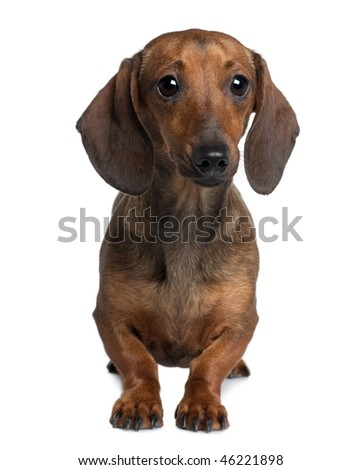 Dachshund, 20 months old, sitting in front of white background - stock photo