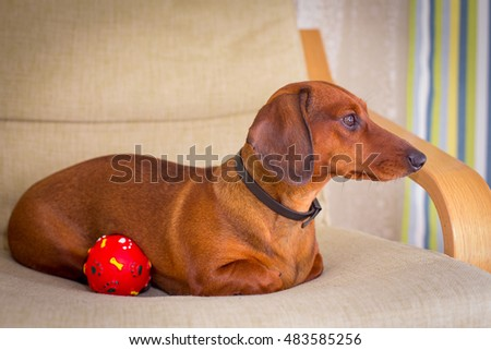 dachshund on a chair with a boll