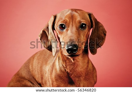 Dachshund on a red background. Studio shot