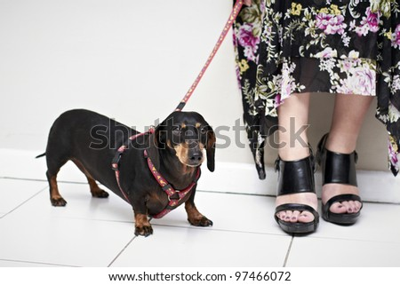Dachshund on a red leash - stock photo