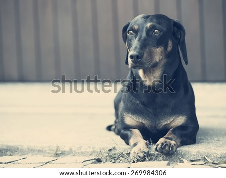 dachshund on concrete waiting is owner . - stock photo