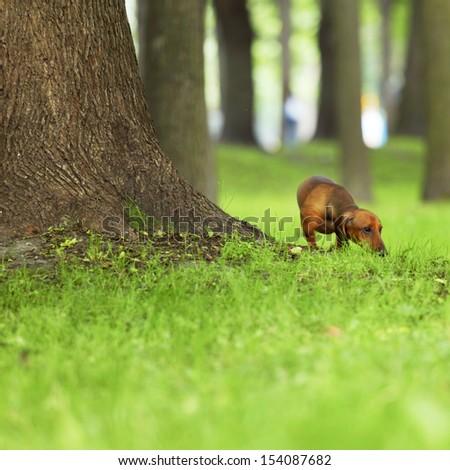 dachshund on green grass close up - stock photo