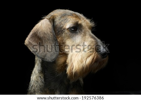 Dachshund portrait in a black background - stock photo