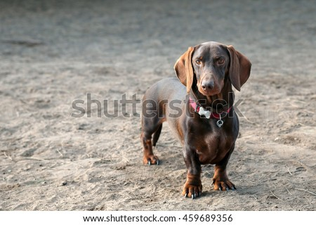Dachshund posing for a portrait at a dog park