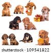Dachshund puppies in different poses - stock photo
