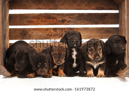 Dachshund puppies sitting in a wooden box - stock photo