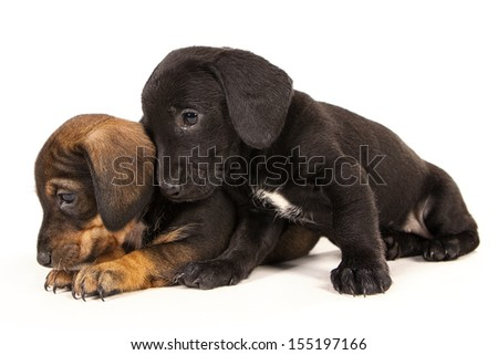 Dachshund puppies with Messy mouthes embracing - together forever, isolated on white - stock photo