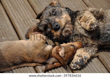 Dachshund puppy and friend. Lovely couple.