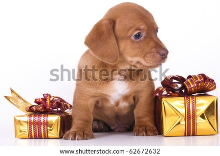 dachshund puppy and New Year gift - stock photo