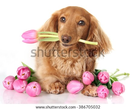 Dachshund puppy dog with spring pink tulip flowers.  - stock photo
