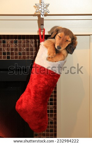 Dachshund puppy in a Christmas stocking hanging in front of a fireplace.  - stock photo