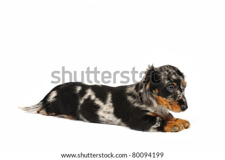 Dachshund puppy in studio in front of a white background