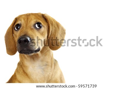 Dachshund puppy isolated over a white background - stock photo