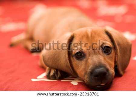 Dachshund puppy lay on red sofa and yawn with tongue - stock photo