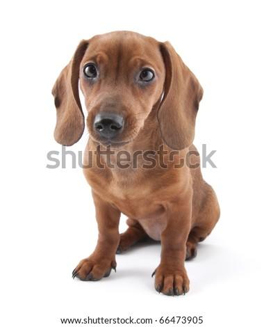 Dachshund puppy, 3 months old - stock photo