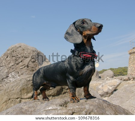 Dachshund puppy, 9 months old, on stone after swimming in  sea - stock photo