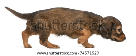 Dachshund puppy, 5 weeks old, walking in front of white background - stock photo