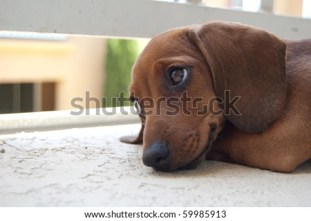 Dachshund puppy wiener dog - stock photo