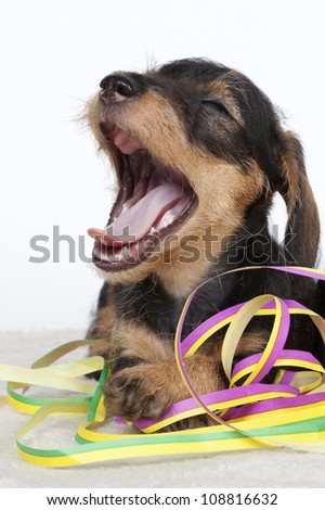 Dachshund puppy yawning while playing with serpentines - stock photo
