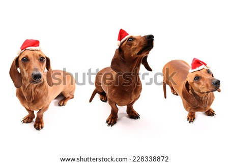 Dachshund set for Christmas time on white background - stock photo