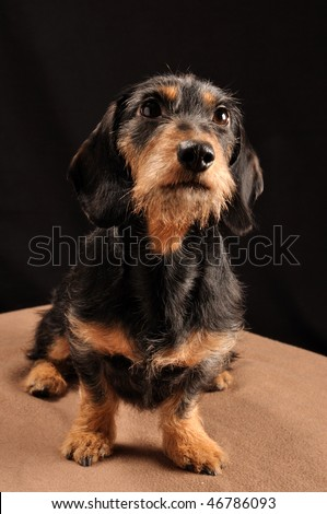 dachshund sitting down on a blanket