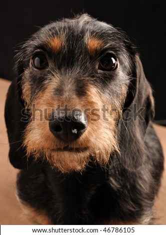 dachshund sitting down on a blanket, closeup. - stock photo
