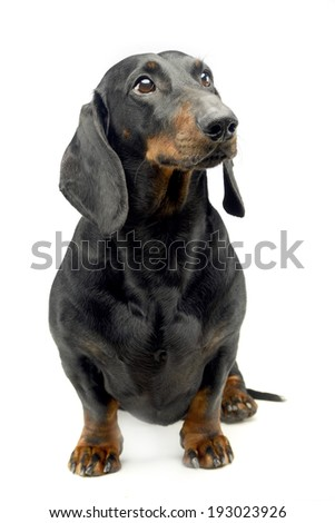 Dachshund sitting in the studio and looking up - stock photo