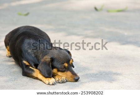 Dachshund small dog resting and lonely. - stock photo