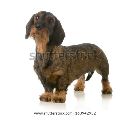 dachshund standing looking up isolated on white background  - stock photo