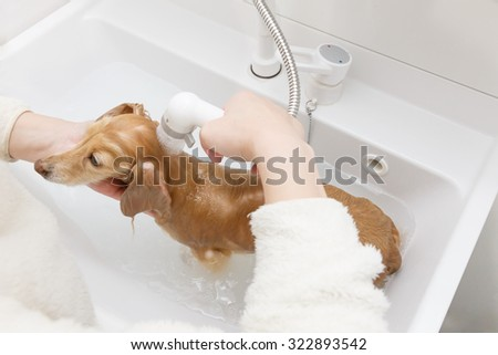 Dachshund to take a shower - stock photo