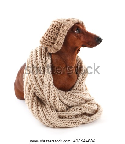 Dachshund wearing human clothes clothing isolated on white.