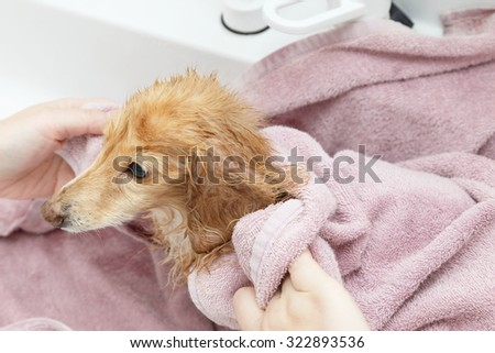 Dachshund wiping with a towel