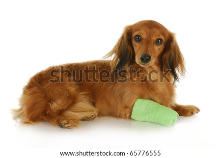dachshund with wounded paw laying down with reflection on white background - stock photo