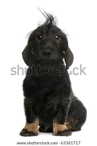 Dachshund, 2 years old, sitting in front of white background - stock photo