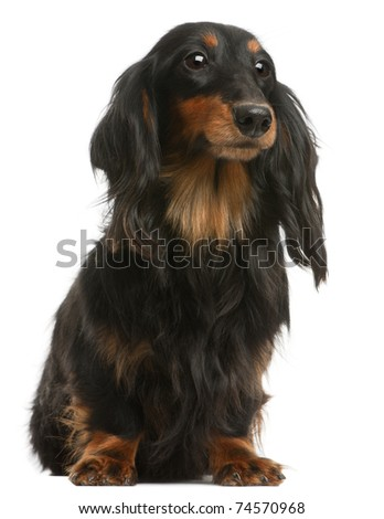 Dachshund, 4 years old, sitting in front of white background - stock photo
