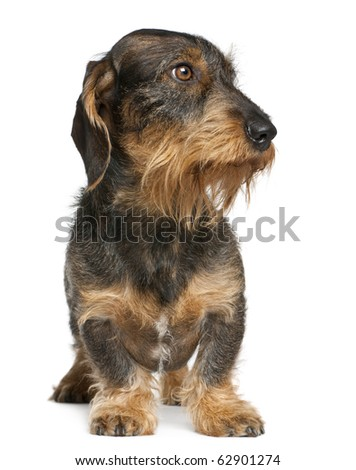 Dachshund, 2 years old, standing in front of white background - stock photo
