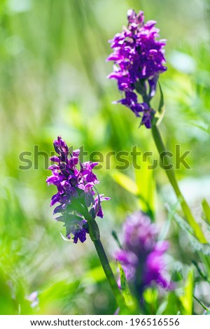 Dactylorhiza majalis - western marsh orchid, broad-leaved marsh orchid, fan orchid, common marsh orchid, or Irish Marsh-orchid - stock photo