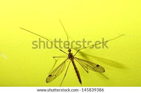 daddy long legs, mosquito nephrotoma scalaris yellow background - stock photo