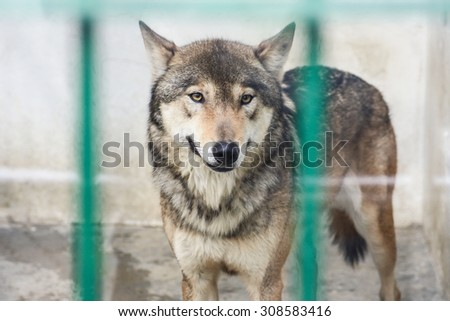 DAEGU, KOREA - MARCH 12, 2009: Wolf in cage at the Dalseong-park, South Korea.