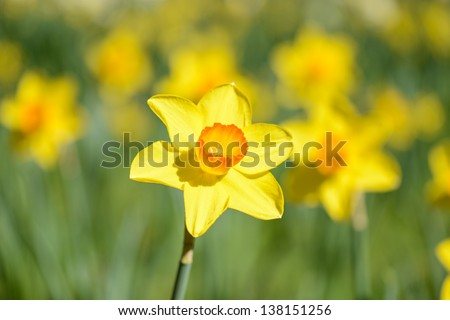 Daffodil close up - stock photo