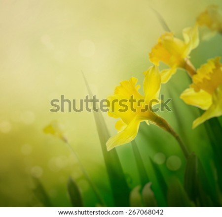 Daffodil floral spring background. Easter Spring Flowers. Elegant Mother's Day gift. Springtime green background. - stock photo