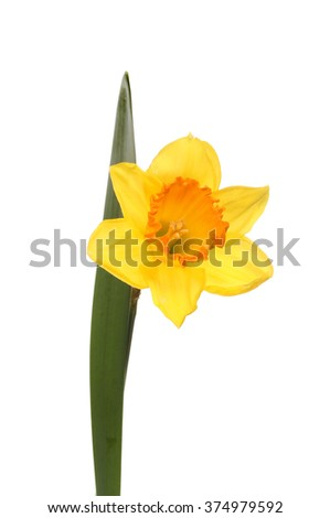 Daffodil flower and leaf isolated against white - stock photo