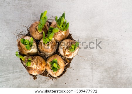 Daffodil flower bulbs view from above on conrete with copy space - stock photo