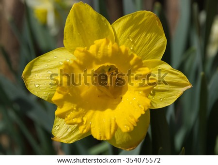 Daffodil Flower - Detail of yellow daffodil flower with water drops after rain leaving clearly see the petals of the corolla and interior with the pistil, stigma and style - stock photo