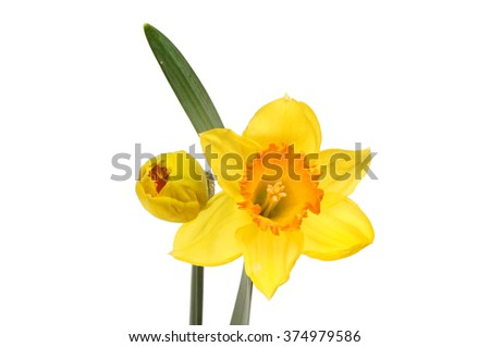 Daffodil flower, leaf and bud isolated against white - stock photo