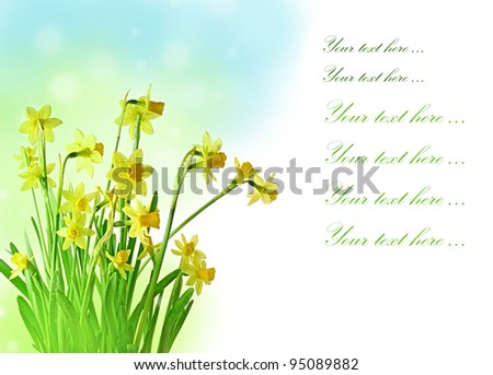 daffodil flowers easter floral background - stock photo
