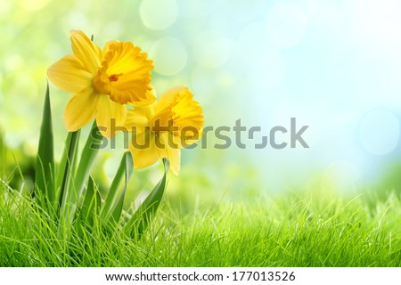 Daffodil flowers in the field - stock photo