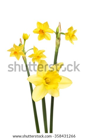 Daffodil flowers isolated against white - stock photo